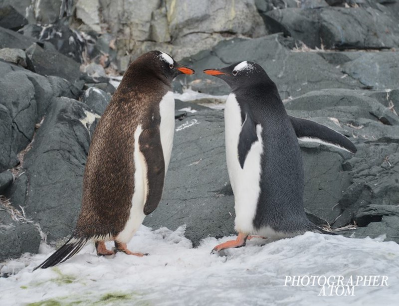 penguins - Penguin - PHOTOGRAPHER ATOM