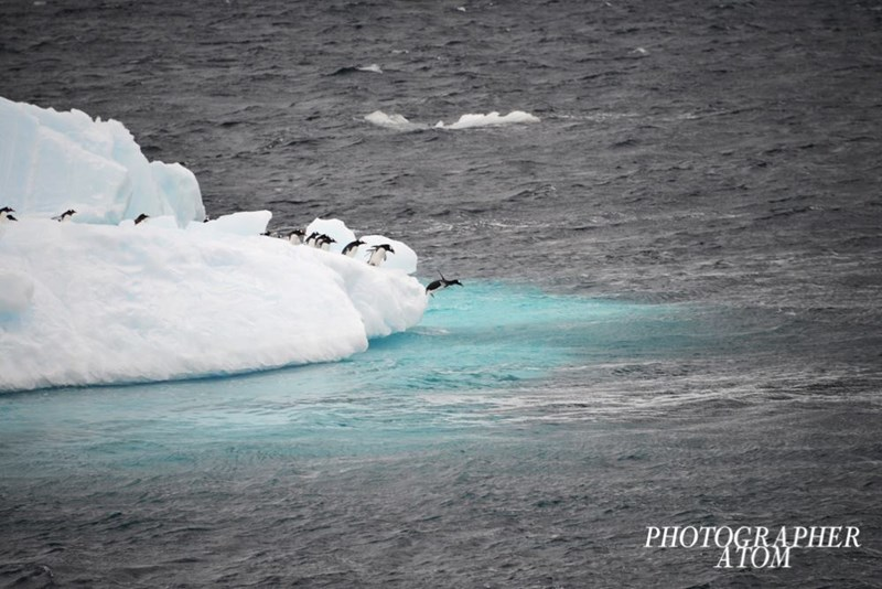 penguins - Ice - PHOTOGRAPHER ATOM