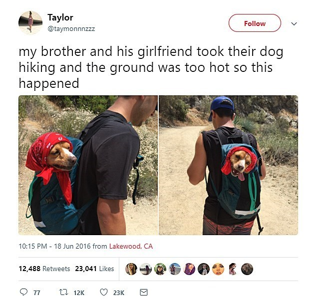 Product - Taylor Follow @taymonnnzzz my brother and his girlfriend took their dog hiking and the ground was too hot so this happened 10:15 PM 18 Jun 2016 from Lakewood, CA 12,488 Retweets 23,041 Likes 77 ti 12K 23K