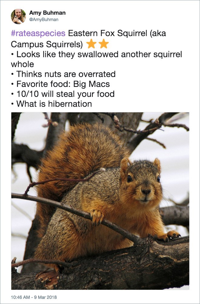 Mammal - Amy Buhman @AmyBuhman #rateaspecies Eastern Fox Squirrel (aka Campus Squirrels) Looks like they swallowed another squirrel whole Thinks nuts are overrated Favorite food: Big Macs 10/10 will steal your food What is hibernation 10:46 AM -9 Mar 2018