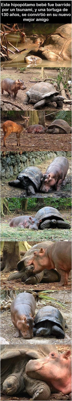 amistad entre tortuga e hipopotamo