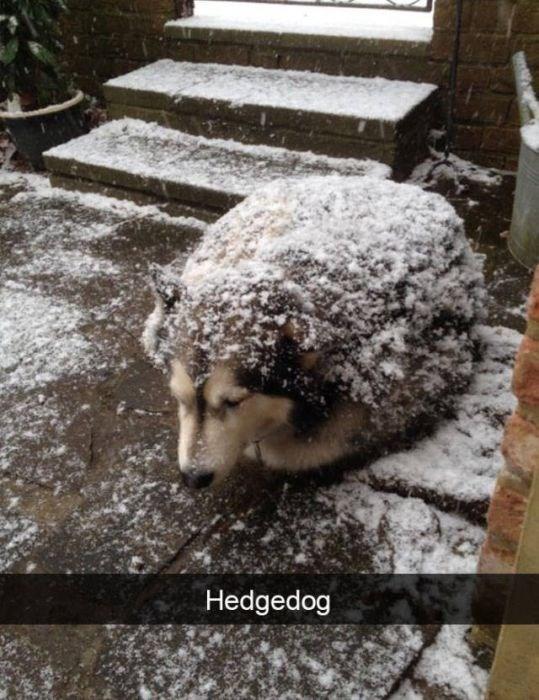 Snow - Hedgedog