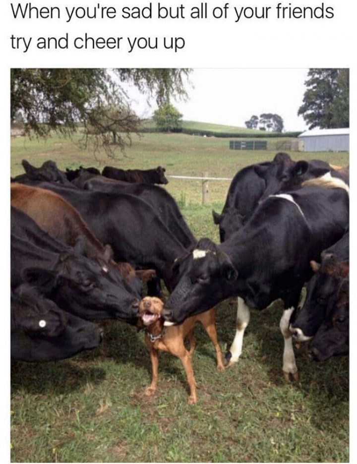 sunday meme of a dog getting attention from cows