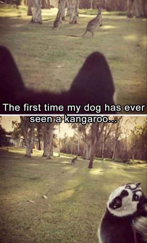 happy meme of a dog freaking out after seeing a kangaroo