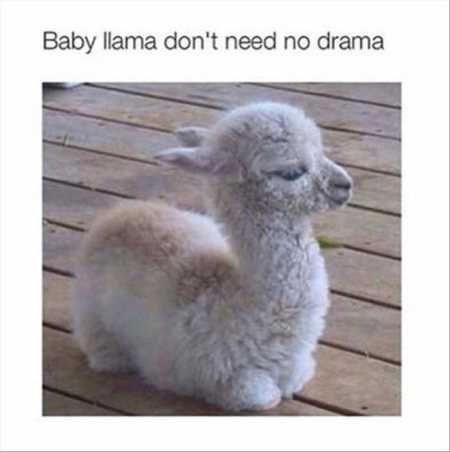 happy meme of a baby llama chilling