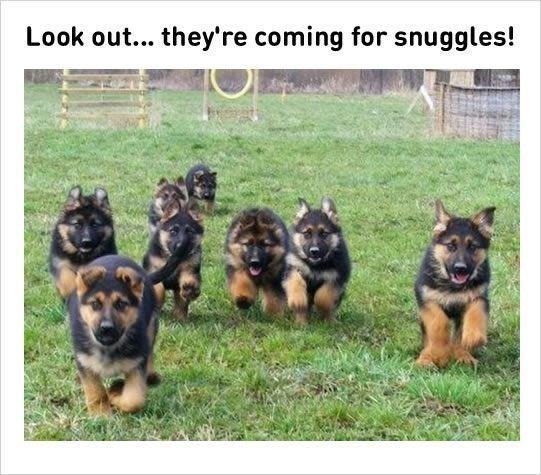 happy meme of puppy german shepards running