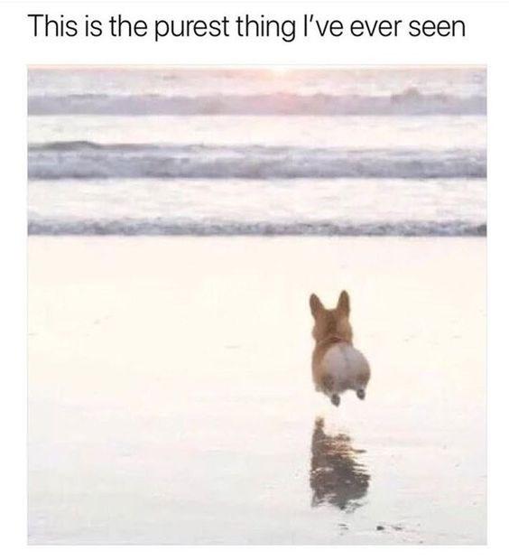 happy meme of a corgi running into the ocean