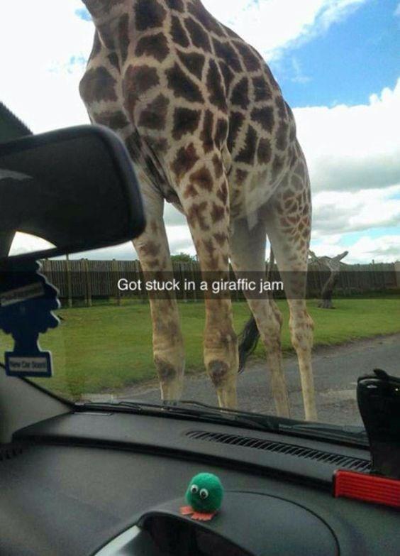 Giraffe - Got stuck in a giraffic jam r S