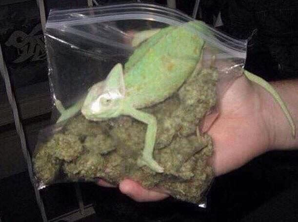 cursed image of a lizard in a bag of weed