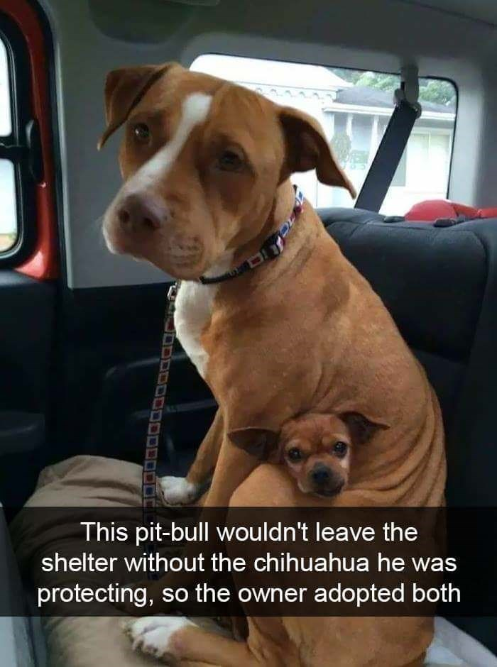 Dog - This pit-bull wouldn't leave the shelter without the chihuahua he was protecting, so the owner adopted both