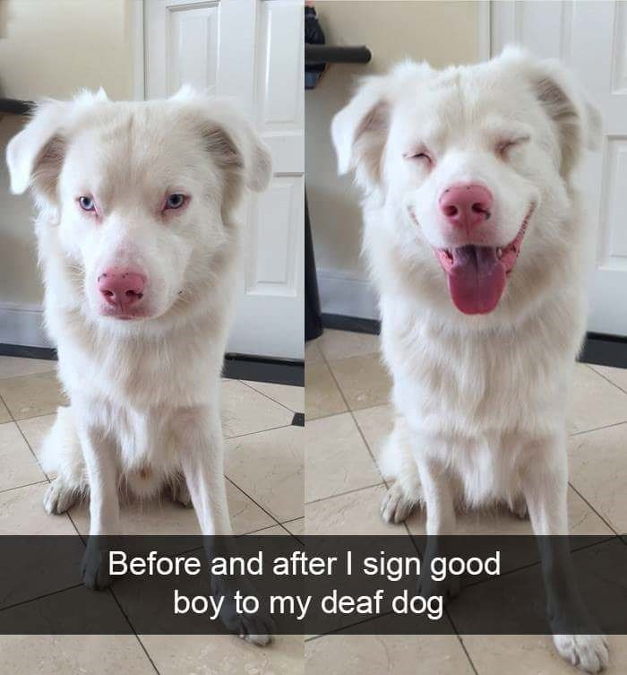 Dog breed - Before and after I sign good boy to my deaf dog