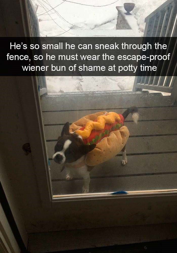 Photo caption - He's so small he can sneak through the fence, so he must wear the escape-proof wiener bun of shame at potty time