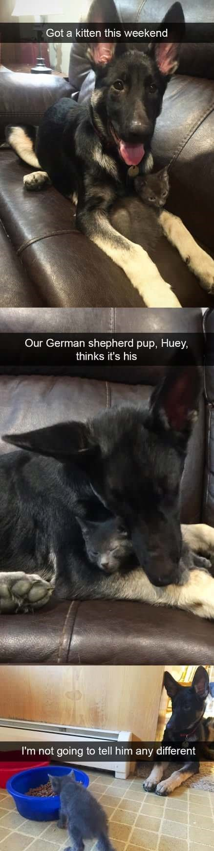 Canidae - Got a kitten this weekend Our German shepherd pup, Huey, thinks it's his I'm not going to tell him any different