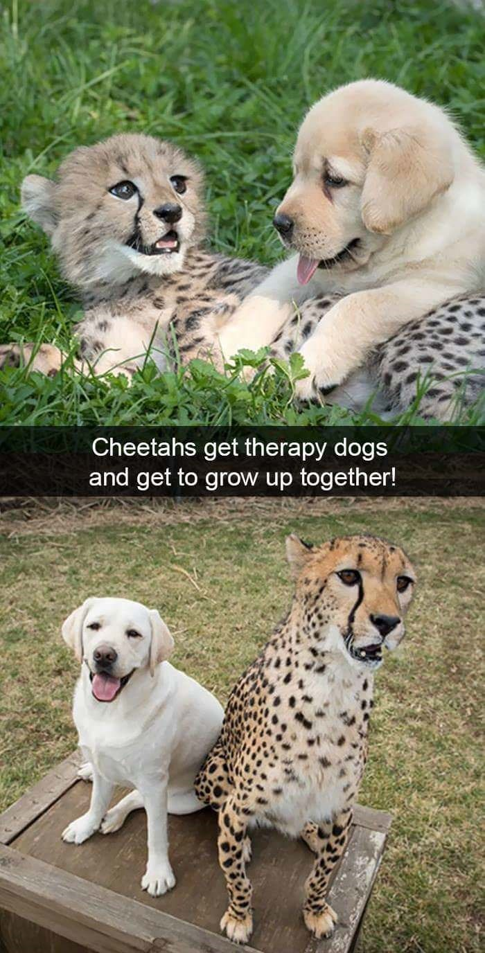 Mammal - Cheetahs get therapy dogs and get to grow up together!