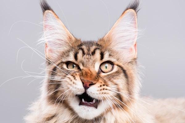 flehmen cats behavior animals