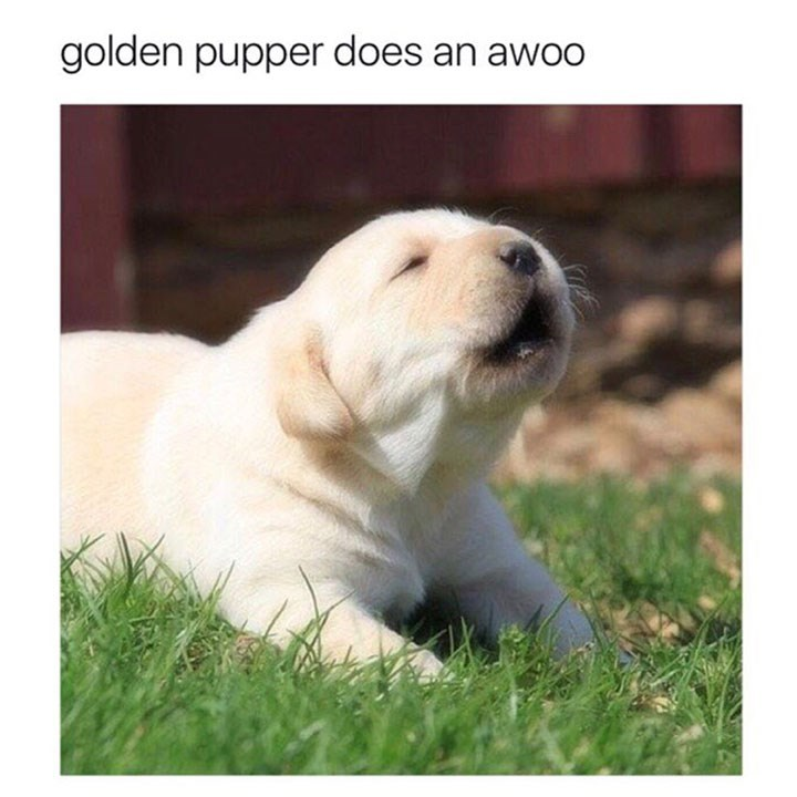 dog meme of a golden retriever puppy that is about to bark