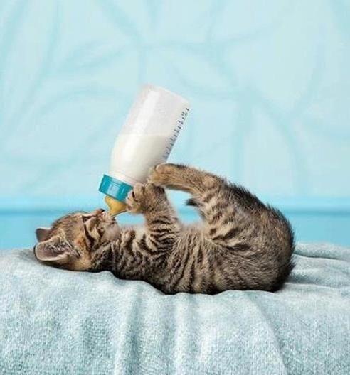 kitten drinking milk from a bottle - Cat