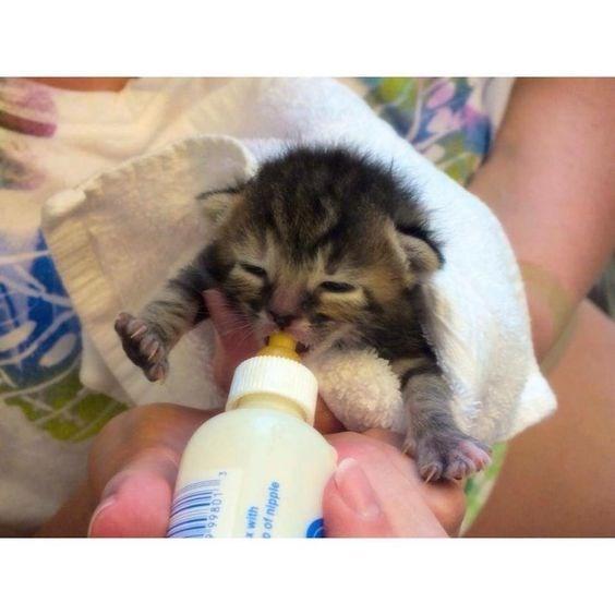 kitten drinking milk from a bottle - Cat - LO866 of nipple
