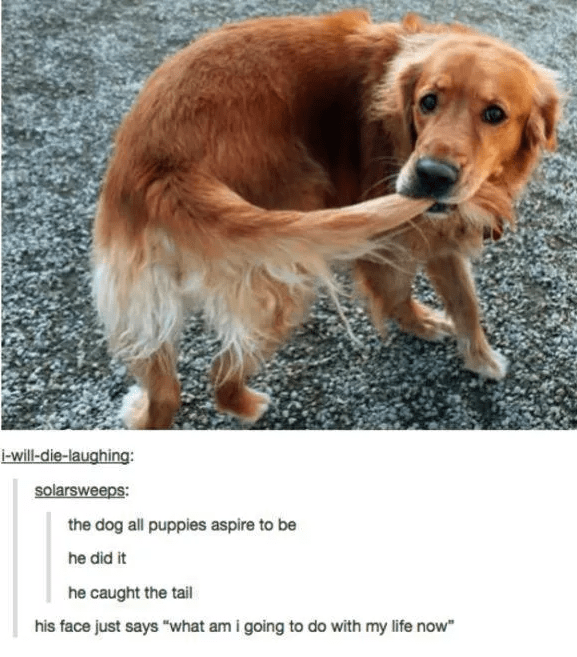 "Dog breed - i-will-die-laughing: solarsweeps: the dog all puppies aspire to be he did it he caught the tail his face just says ""what am i going to do with my life now"
