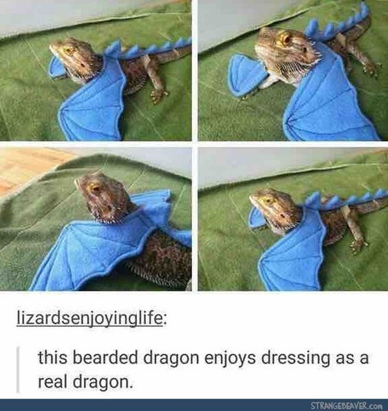 Product - lizardsenjoyinglife: this bearded dragon enjoys dressing as a real dragon. STRANGEBEAVER.cOn