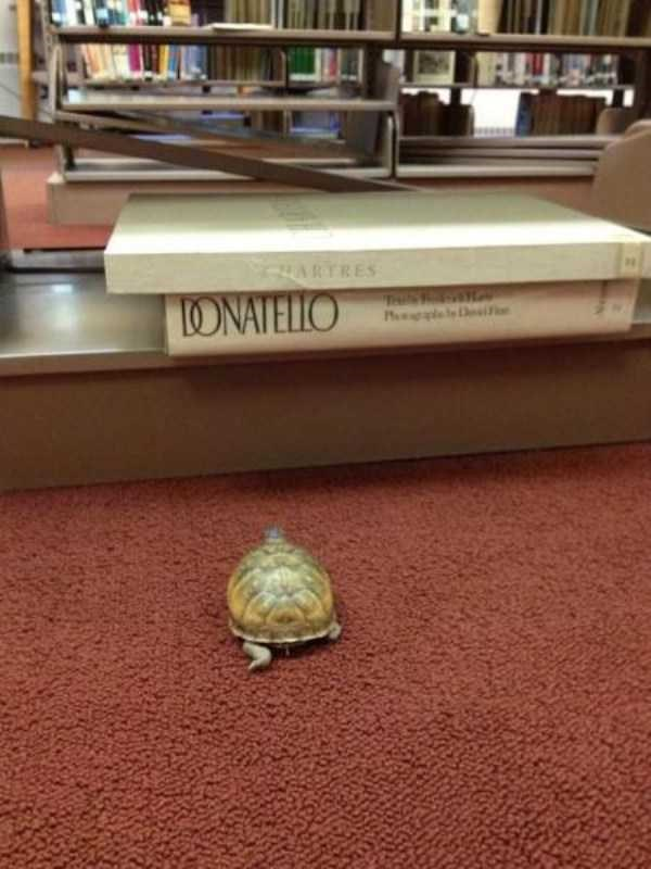 librarian meme - Turtle - HARTRES LONATELLO TA Phleaf
