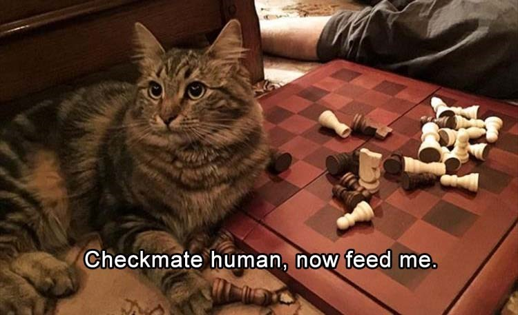 caturday - Cat - Checkmate human, now feed me.