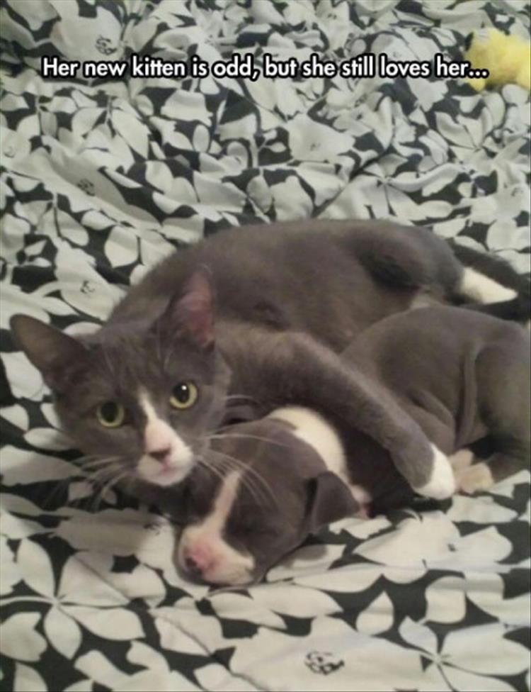 caturday - Cat - Her new kitten is odd, but she still loves he...