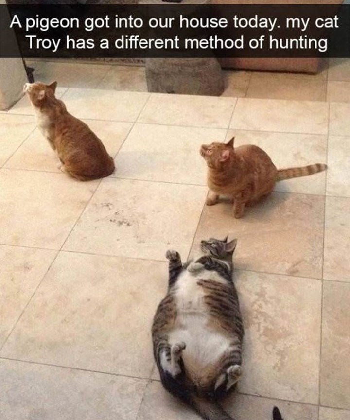 caturday - Cat - A pigeon got into our house today. my cat Troy has a different method of hunting
