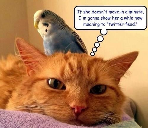 """meme - Cat - If she doesn't move in a minute, I'm gonna show her a whle new meaning to """"twitter feed."""" OO"""