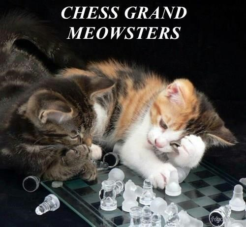 meme - Cat - CHESS GRAND MEOWSTERS Fcdga