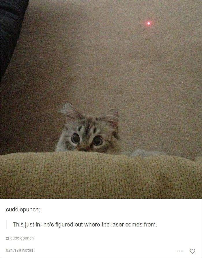 Cat - cuddlepunch: This just in: he's figured out where the laser comes from. cuddlepunch 321,176 notes