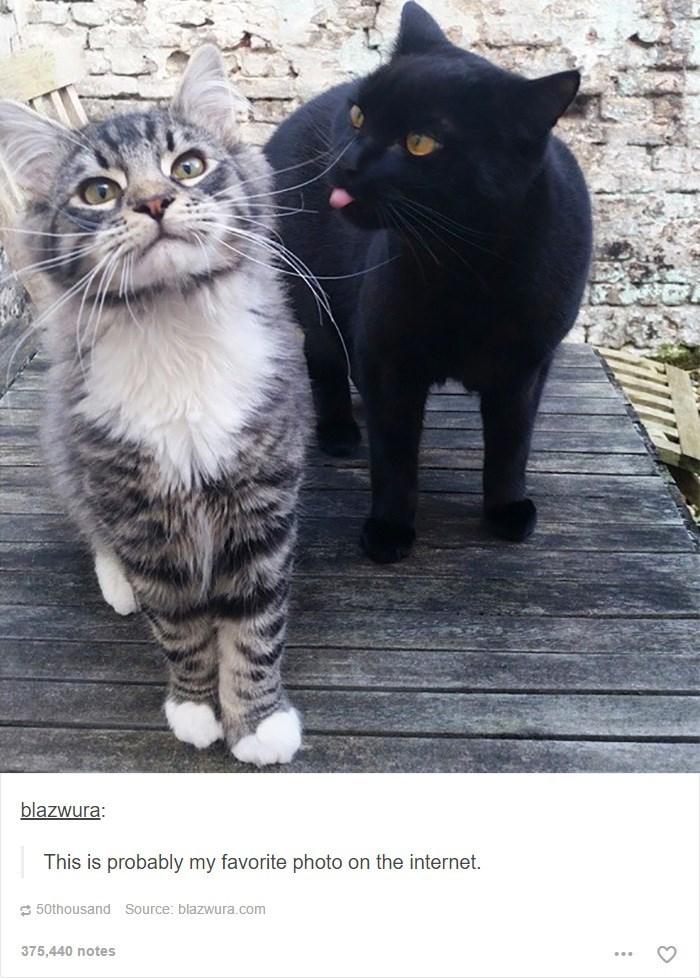 Cat - blazwura: This is probably my favorite photo on the internet. 50thousand Source: blazwura.com 375,440 notes