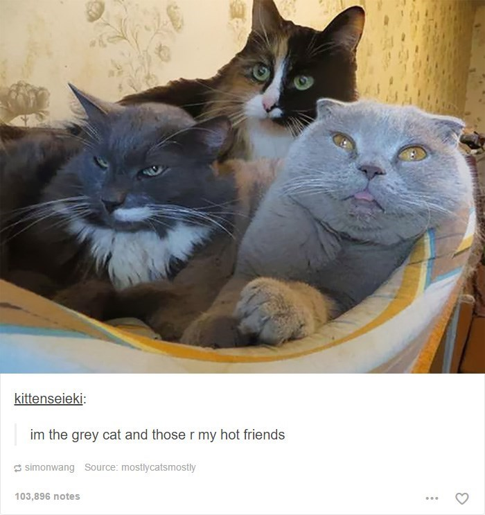 Cat - kittenseieki: im the grey cat and those r my hot friends simonwang Source: mostlycatsmostly 103,896 notes