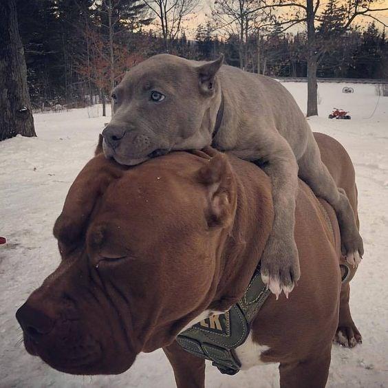 piggyback - Mammal