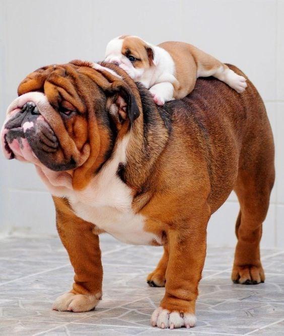 piggyback - Dog