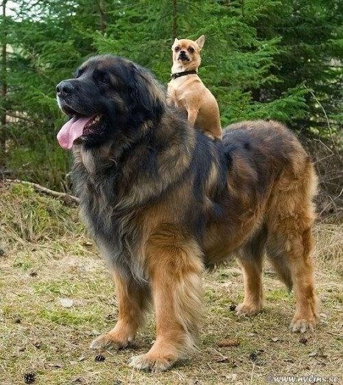 piggyback - Dog - www.yeins.se