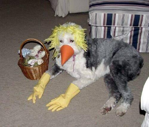 grey dog wearing fake beak and yellow dishwashing gloves