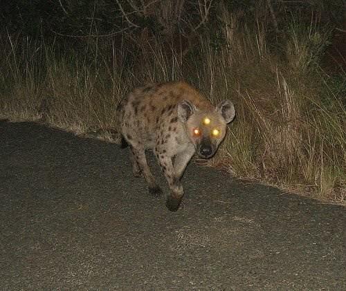 hyena with eyes reflecting in camera looks like it has 3 eyes