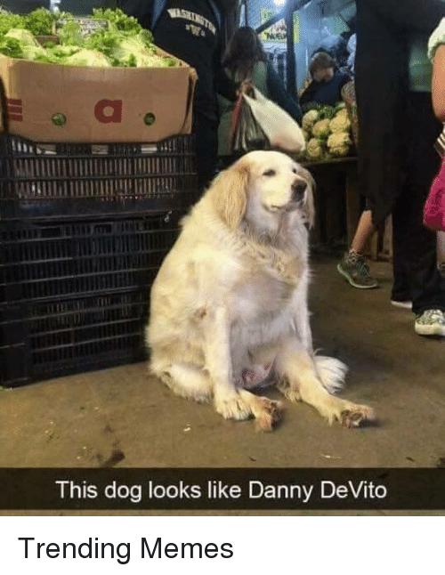 Vertebrate - WASHINGT This dog looks like Danny DeVito Trending Memes