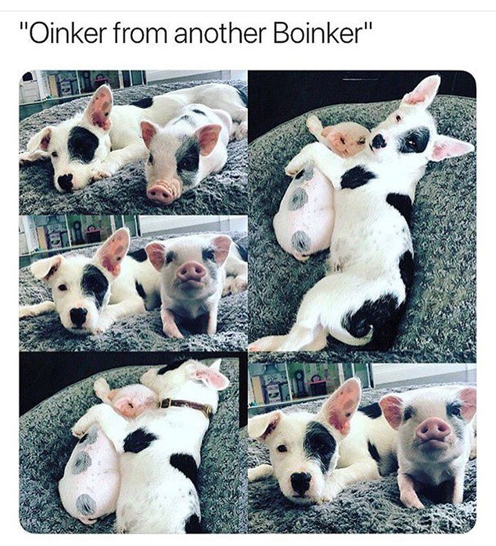 "Canidae - ""Oinker from another Boinker"""
