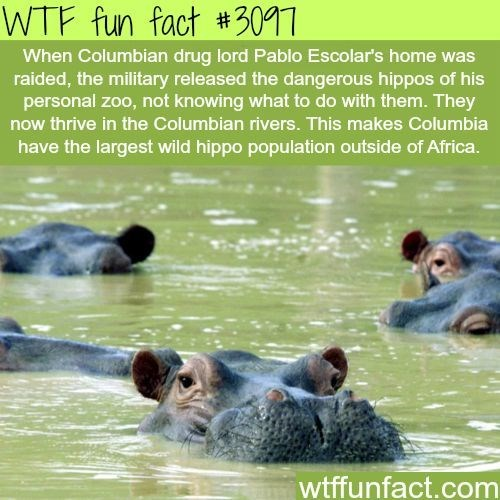 Wildlife - WTF fun fact #3017 When Columbian drug lord Pablo Escolar's home was raided, the military released the dangerous hippos of his personal zoo, not knowing what to do with them. They now thrive in the Columbian rivers. This makes Columbia have the largest wild hippo population outside of Africa. wtffunfact.com
