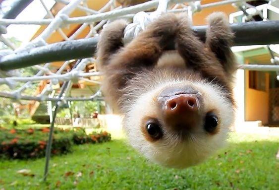 upsidedown - Mammal - sloth