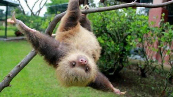 upside down - Mammal sloth
