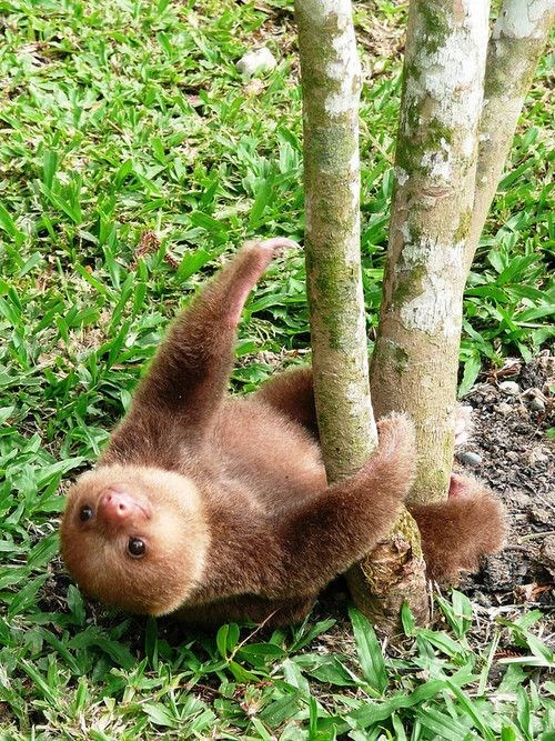 upsidedown - Adaptation - sloth