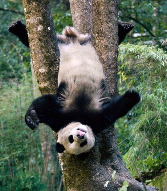 upside down - Panda in tree