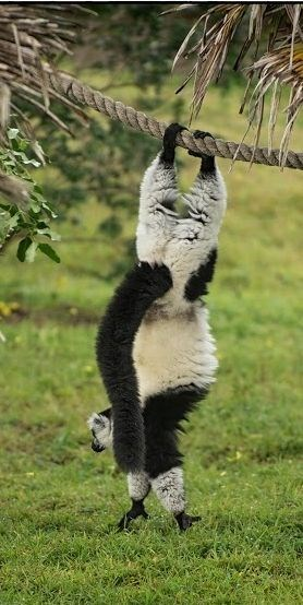 upsidedown - Lemur
