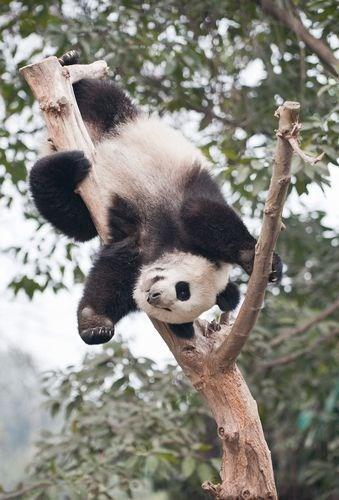 upsidedown - Panda