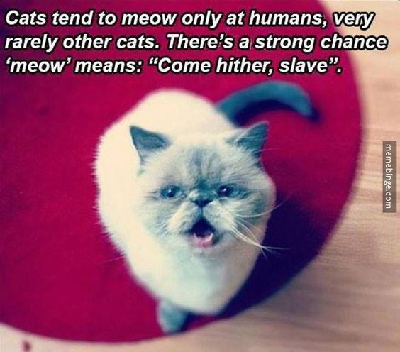 "memes - Cat - Cats tend to meow only at humans, very rarely other cats. There's a strong chance 'meow' means: ""Come hither, slave"" memebinge.com"