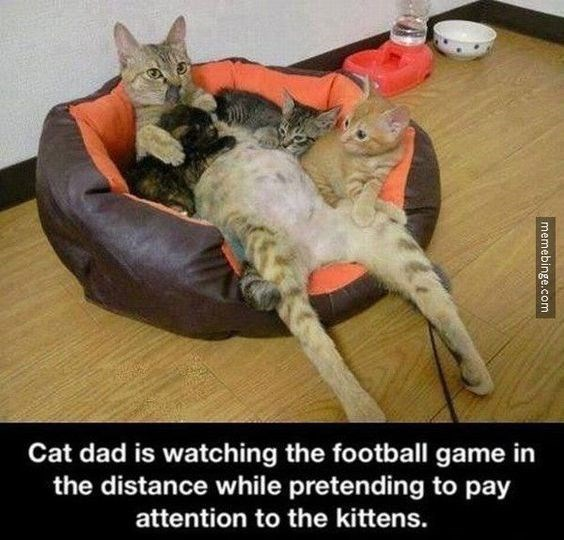 memes - Cat - Cat dad is watching the football game in the distance while pretending to pay attention to the kittens. memebinge.com