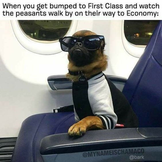 Dog - When you get bumped to First Class and watch the peasants walk by on their way to Economy: @MYNAMEISCHAMACO @bark